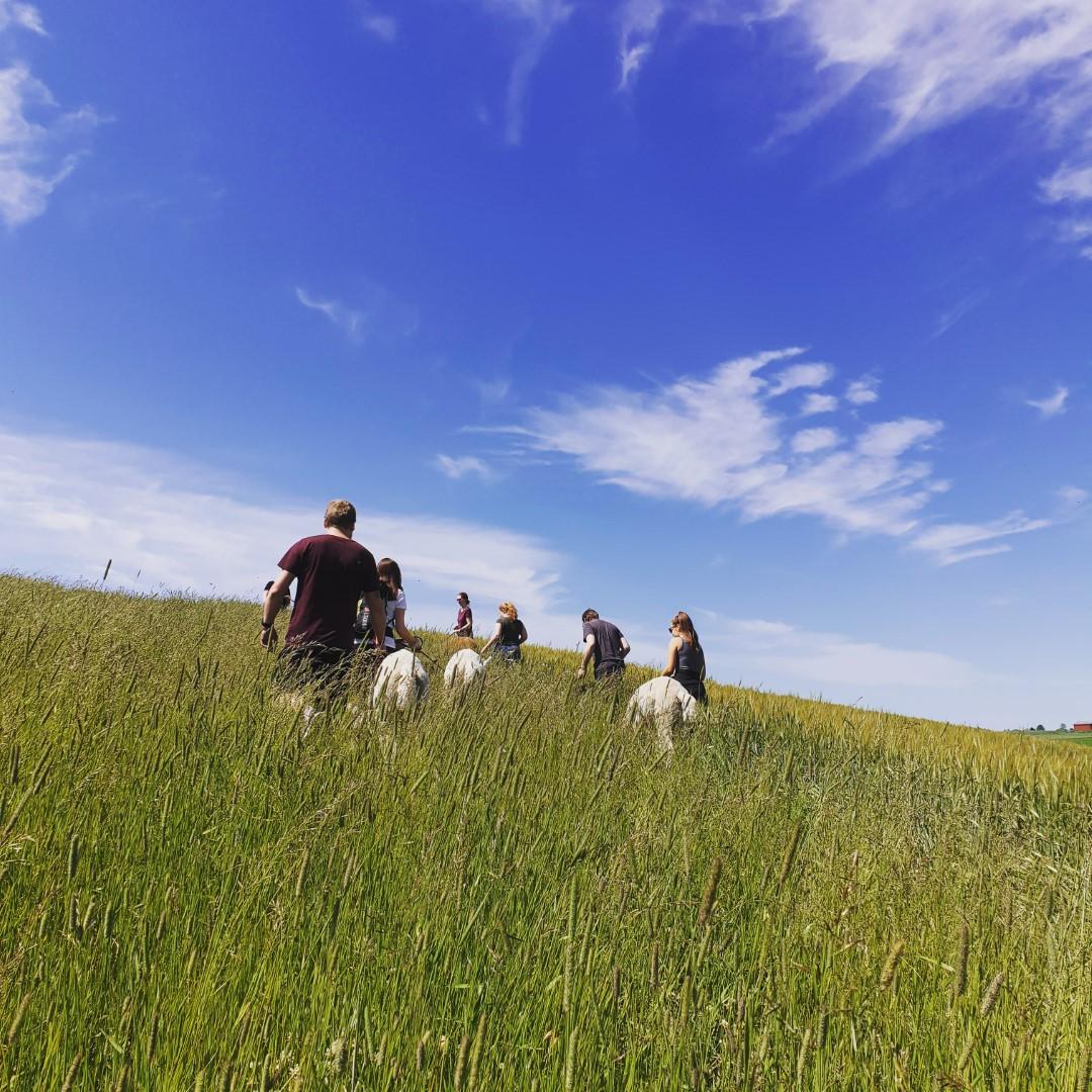 Walking alpacas