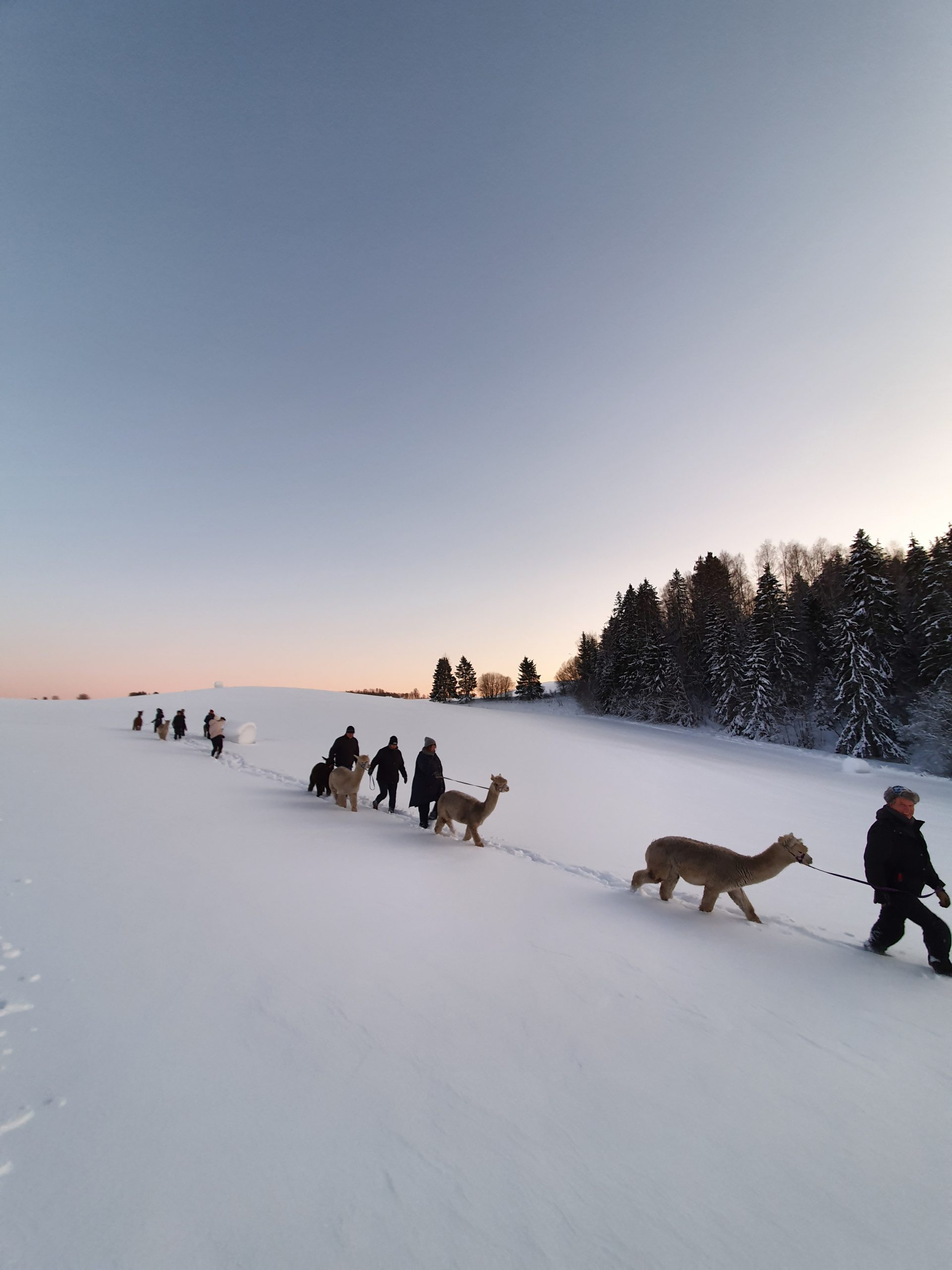 Alpakkavandring i vinterland