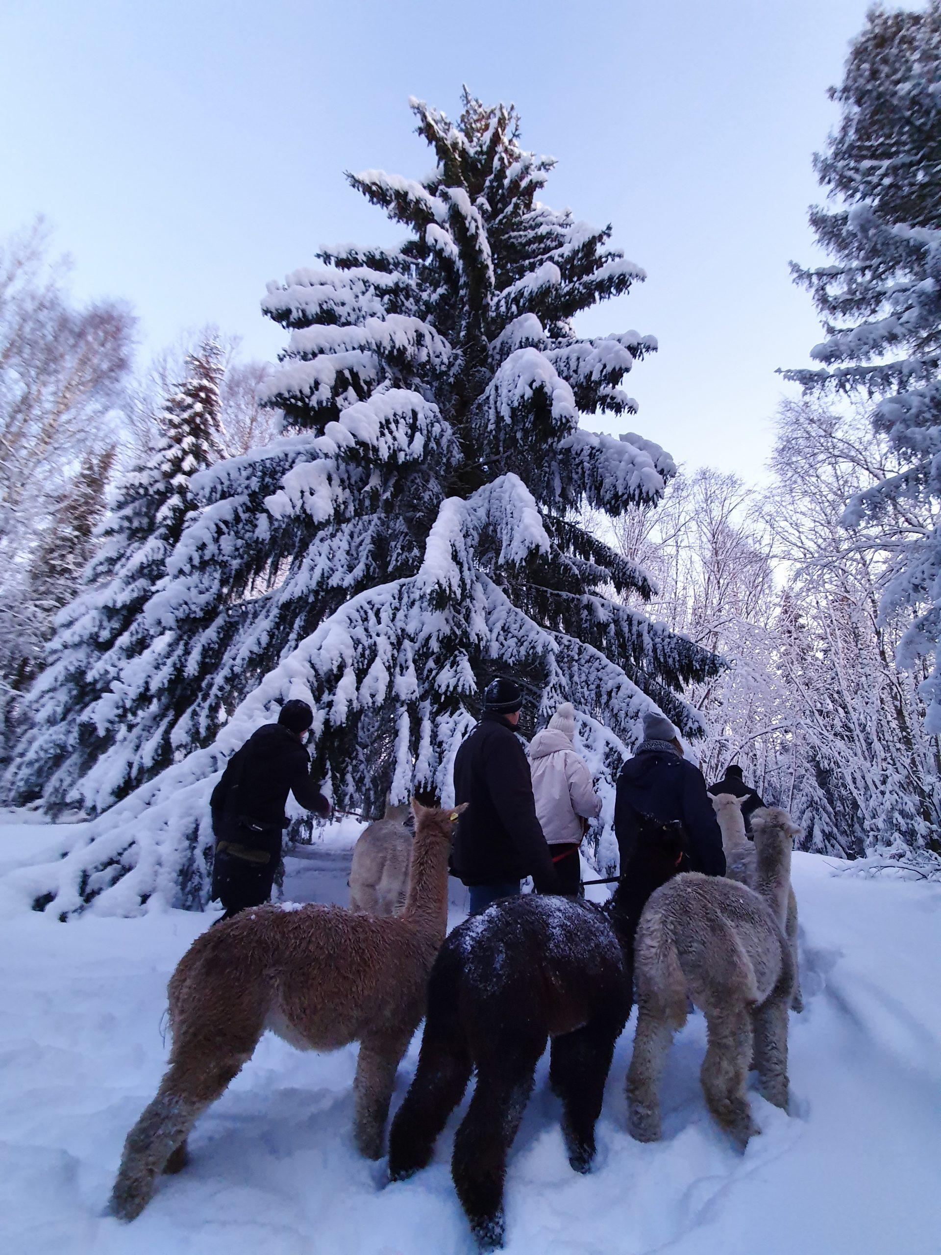 Alpakkavandring og julegran