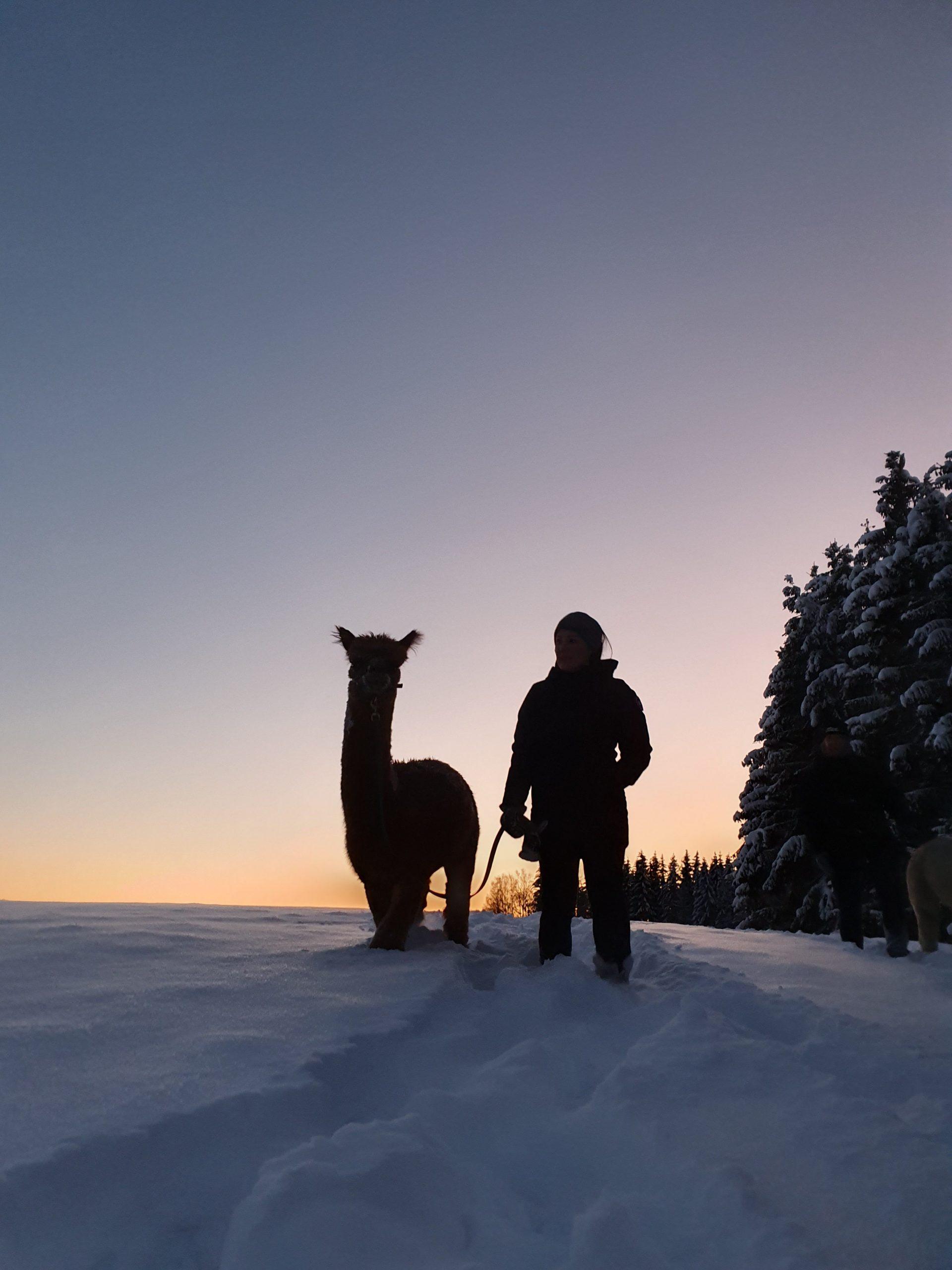 Alpakkavandring i vinterland og solnedgang