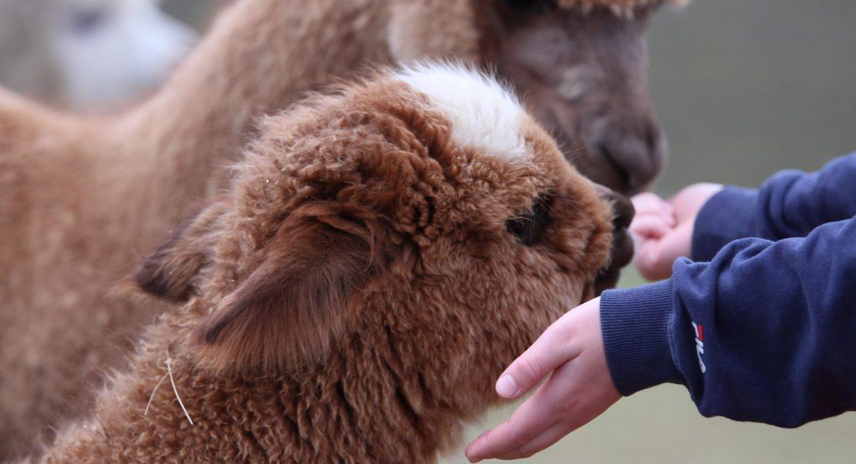 Alpakkavandring - Sindre hilser på (Stor)
